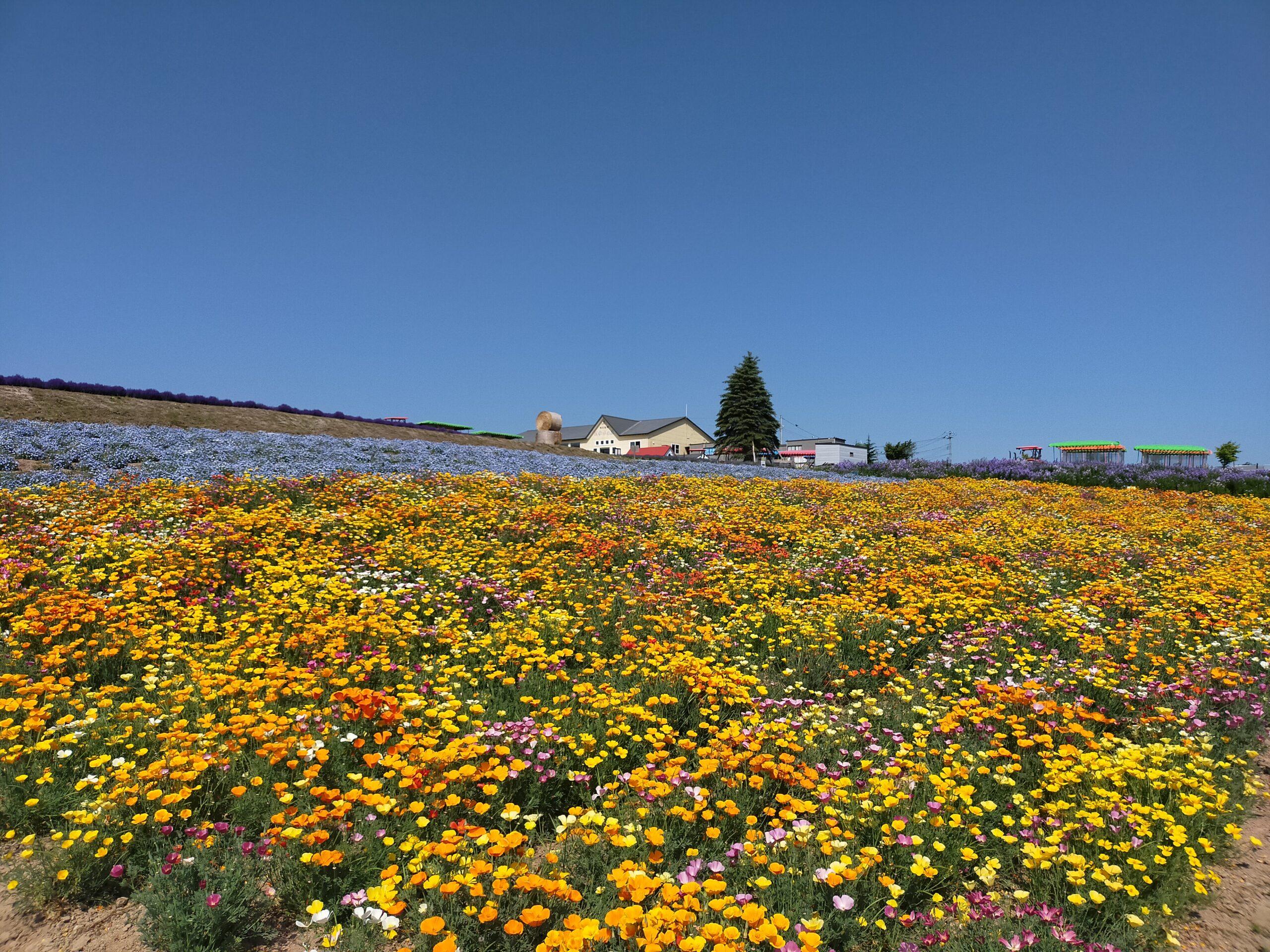 美瑛の花畑の画像